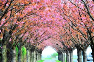 Avenue of Blossoming Cherry Trees